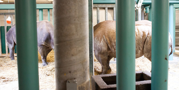 Zuri, a female black rhino, peeks her head between the bars of her holding area at The Oregon Zoo. © Oregon Zoo / Photo by Carli Davidson
