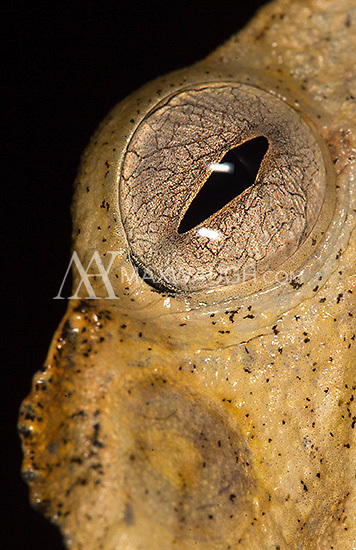 A file-eared tree frog photographed during a night walk in Borneo.A bush frog photographed during a night walk in Borneo.