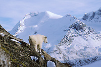 Mountain Goat (Oreamnos americanus) surveys his mountain world high in the Northern Rockies.  Fall.