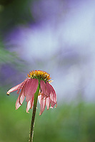 Purple coneflower, echinacea, a native wildflower in North America. Known for medicinal qualities.