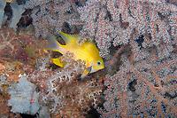 Golden sergeant (Amblyglyphidodon aureus) hiding amongst the fan corals, Big drop, Loloata, Bootless bay, Coral sea, Pacific ocean, Papua New Guinea, Asia