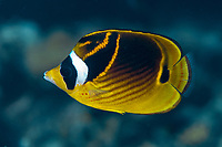 Raccoon Butterflyfish, Chaetodon lunula, Cuts and Grottos dive site, Tutuntute, near Uhak village, Wetar Island, near Alor, Indonesia, Banda Sea, Pacific Ocean