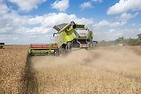 Harvesting oil seed rape in Cambridgeshire