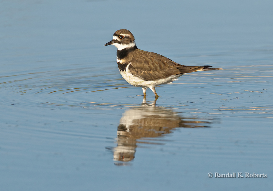 A killdeer (Charadrius vociferus), a medium-sized plover, wades through a shallow pond in Thornton, Colorado