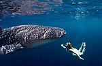 Whale SHark; Whale SHark, (Rhincodon typus) at Cenderawasih Bay