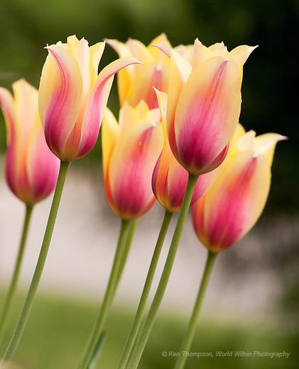 Tulips in Bob's Garden