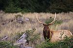 Elk along ocean beach Prairie Creek Redwood State Park Northern California USA