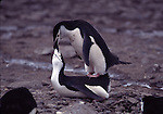 chinstrap penguins courtship