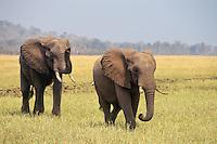 African elephants (Loxodonata africana), Matusadona National Park, Zimbabwe.