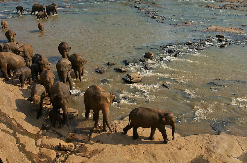 Elephants at Pinnawala, Sri Lanka