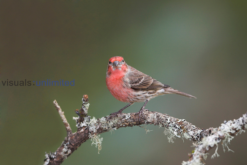 House Finch (Carpodacus mexicanus) perched on a branch in Victoria, British Columbia, Canada.