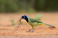 Green Jay (Cyanocorax yncas), adult with lizard prey,Rio Grande Valley, South Texas, Texas, USA