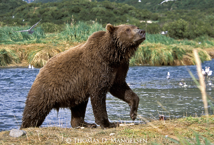 Alaskan Brown Bear (Ursus arctos) coming out of a stream in Southeast, AK