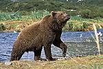 Alaskan Brown Bear (Ursus arctos) coming out of a stream in Southeast, AK