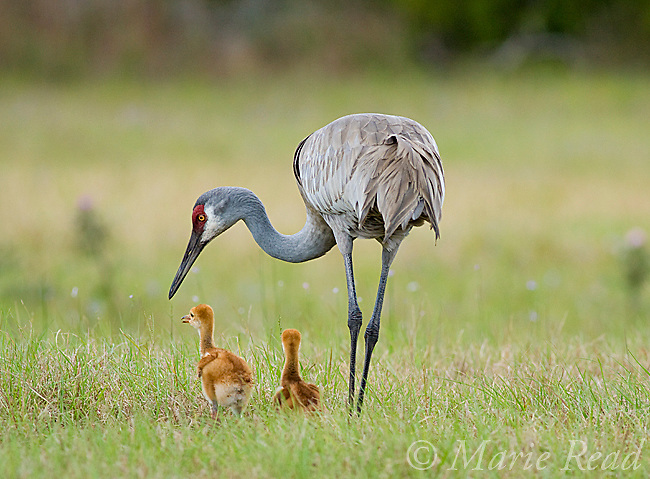 Sandhill Crane (Grus canadensis), Florida race, adult with 2 chicks, Orlando, Florida, USA