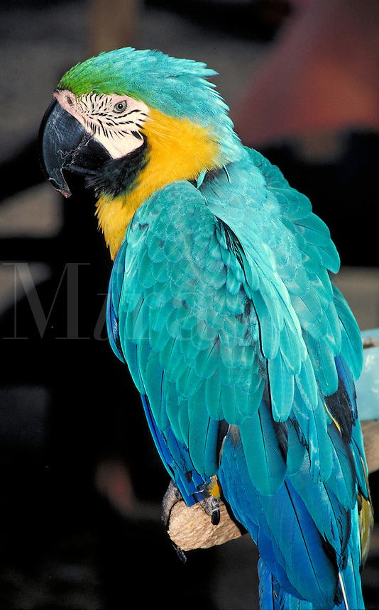 turquoise blue parrot with golden neck on perch.