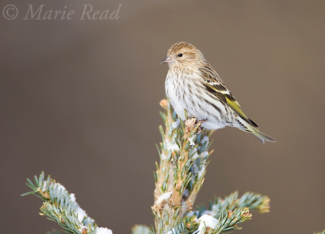 Pine Siskin (Carduelis pinus) perched in conifer, New York, USA<br /> (Digitally retouched image - slight background distraction removed)
