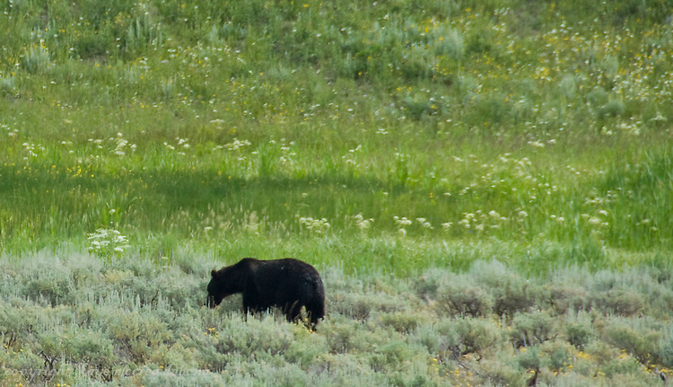 Black bears and Grizzly bears of Yellowstone National Park