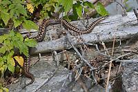 Kreuzotter, Kreuz-Otter, Otter, Vipera berus, adder, common viper, common European viper