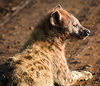 A hyena rests its legs but remains alert in the Ngorongoro National Park, Tanzania.