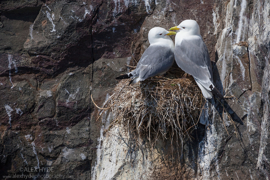 Kittiwake pair {Rissa tridactyla} on nest built on sea cliff ledge. Farne Islands, Northumberland, UK. May