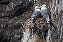 Kittiwake pair {Rissa tridactyla} on nest built on sea cliff ledge. Farne Islands, Northumberland, UK. May