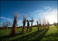 BNPS.co.uk (01202 558833)<br /> Pic: PhilYeomans/BNPS<br /> <br /> Willow staves are put out to dry...<br /> <br /> One ancient tradition has benefitted from the watery travails of the Somerset levels this year - The annual willow harvest has just begun, with the fast growing tree's putting on 9 feet of growth this year in the damp soil.<br /> <br /> Untill the second war over 3000 acres of the precarious landscape were producing 'Black Maul', the local name for Salix triundra, as they had for thousands of years. <br /> <br /> Farmer Richard Roberts has one of the last surviving willow beds on his farm at the famous battlefield of Sedgemoor in the heart of the levels.<br /> <br /> But despite the drastic reduction in demand as plastic bags and containers took over, his business is now booming as traditional woven products like panniers, baskets and even coffins come back into fashion.<br /> <br /> 'Willow weaving must have been one of the first skills learned by prehistoric man' say's Richard 'And its fantastic that it still has a use in the twenty first century'.