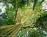 Emergent canopy tree (Sloanea obtusifolia), locally known as Huangana Caspi, in primary lowland tropical rainforest, Manu National Park, Madre de Dios, Peru.