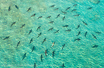 Schooling Blacktip Sharks, Carcharhinus limbatus, gather by the thousands during their annual migration to northern Palm Beach County, Florida, United States.