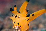 Pacific Thecacera Nudibranch, Thecacera pacifica, Dorid Nudibranch, Lembeh Straits, Sulawesi Sea, Indonesia, Amazing Underwater Photography