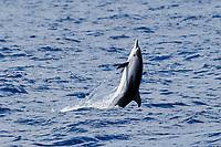 Striped Dolphin, Stenella coeruleoalba, breaching backwards, Azores, Atlantic Ocean