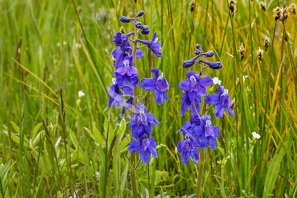 Little Larkspur or low larkspur (Delphinium bicolor) found in the Intermountain West.  Montana, June.