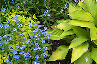 Blue and gold yellow garden plants together: Hosta, forget-me-not myosotis, Kolkwitzia Dreamcatcher in spring bloom and foliage plants, bright colors for a shade garden, mixture of perennial plants in beautiful planting combination