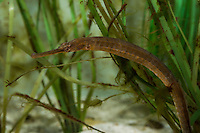 Große Seenadel, zwischen Seegras, Syngnathus acus, great pipefish, greater pipefish, Syngnathe aiguille, vipère de mer, Seenadeln, Syngnathidae, Pipefishes
