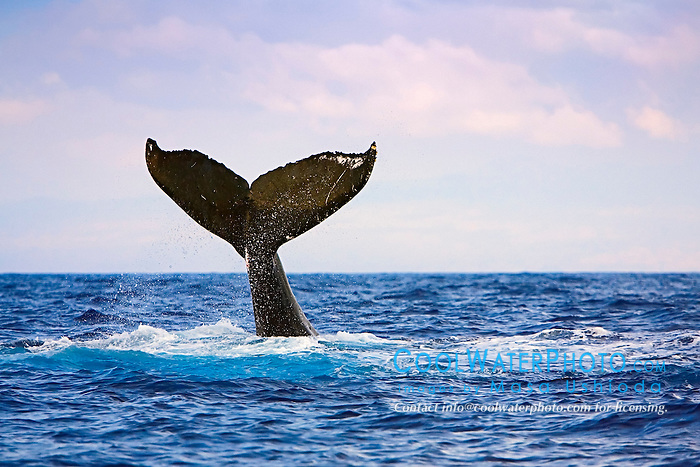 humpback whale, Megaptera novaeangliae, lobtailing, tail-slapping, Big Island, Hawaii, USA, Pacific Ocean