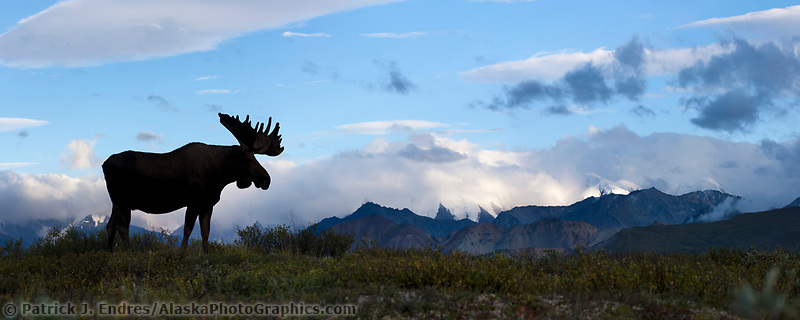 Bull moose on a ridge silhouetted against blue sky, Denali National Park, Interior, Alaska.