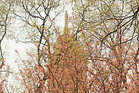 Springtime in New York City, City Hall Park, Flowering Trees, Scales of Justice Statue atop New York's City Hall in the background, Lower Manhattan, New York City, New York State, USA