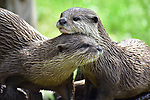 Otters share a tender moment at UK wildlife park by Sarah Kingston
