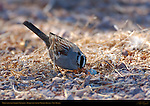 White-crowned Sparrow Foraging, Bosque del Apache Wildlife Refuge, New Mexico
