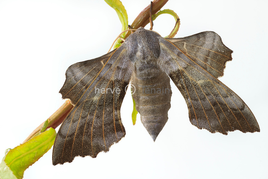 Sphinx du saule (Smerinthus cerisyi) sur une branche de saule // One-Eyed Sphinx moth (Smerinthus cerisyi)
