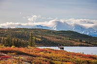 Bull caribou in autumn tundra along the shore of Wonder Lake, Alaska Range mountains, Denali National Park, Interior, Alaska.