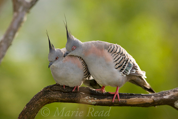 Crested Pigeons (Ocyphaps (=Geophaps) lophotes), male (R) preening its mate (L) Atherton Tableland, Queensland, Australia. Known as allopreening, the behavior acts to strengthen the pair bond.