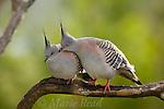Pigeons, Doves: Australia