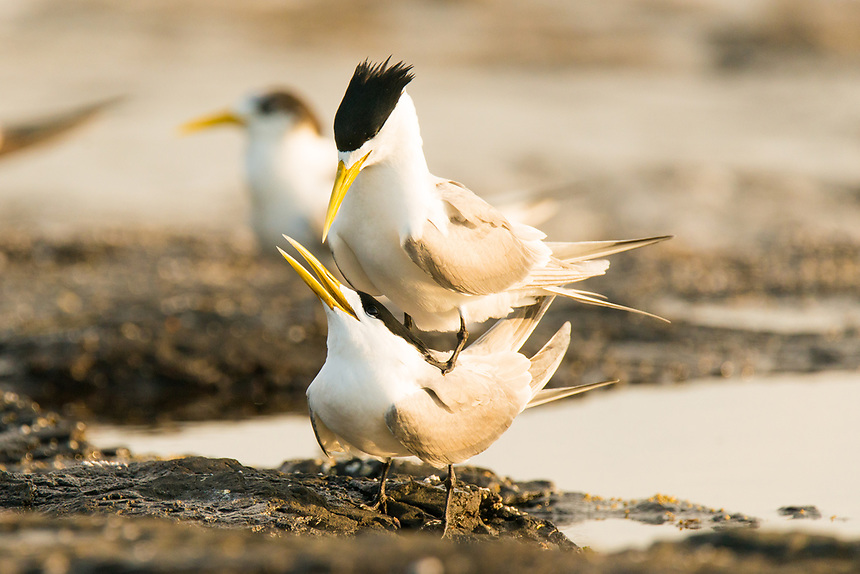 Crested Terns, Ballina, New South Wales.