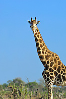 Profile of a giraffe in Okavango Delta, Botswana Africa.  Notice the Oxpecker on the side of the giraffe's face.