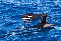 killer whale, or orca, Orcinus orca, mother, calf with bitten off dorsal fin, Cabo Corso, Baja California Sur, Mexico, Pacific Ocean