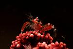Horned Sea Pen Shrimp, Dasycaris ceratops, Lembeh Straits, Sulawesi Sea, Indonesia, Amazing Underwater Photography