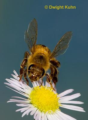1B05-512z  Honeybee worker flying to flower, Apis mellifera