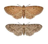 70.185 (1836)<br /> Campanula Pug - Eupithecia denotata<br /> bottom = ssp. jasioneata = Jasione Pug