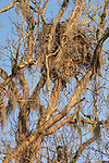 Brazoria County, Damon, Texas; a detailed view of a bald eagle's nest high up in a leafless live oak tree at the edge of the pasture in early morning sunlight